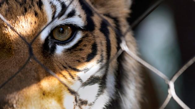 iStock_12420_TigerFence